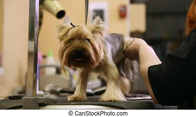 A woman in special clothes professional groomer shears yorkshire terrier wool on paws with scissors.