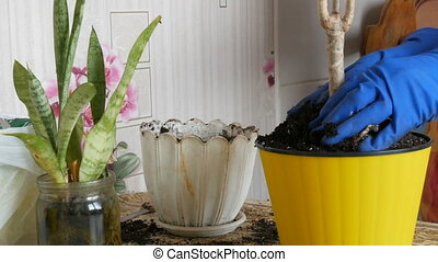 A woman in the spring transplants indoor flowers from old...