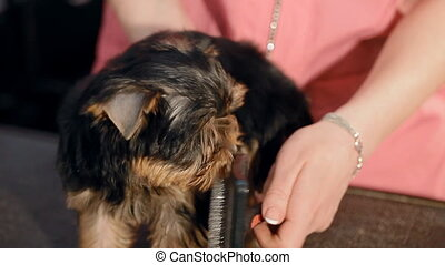A woman is combing a small dog