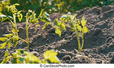 A woman is pouring from a bucket a row of Young green tomatoes just planted in the ground are standing on a sun in the garden