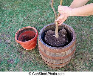 a woman is transplanting a tree to a bigger pot