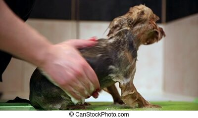 A woman is washing the dog off dirt after a walk in the long...