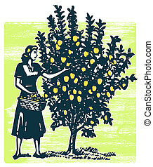 A woman picking apples from a tree