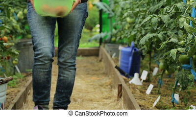 a woman picks ripe tomatoes