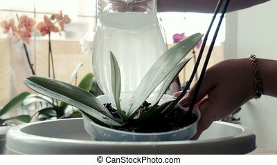 A woman pours water on orchid - panoramic shot of orchid...