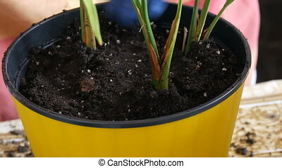 A woman transplants room date palms into new flower pots -...