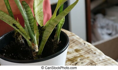 A woman transplants room Sansevieria into new flower pots -...