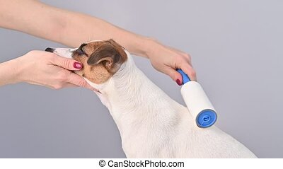 A woman uses a sticky roller to remove hair on a dog.