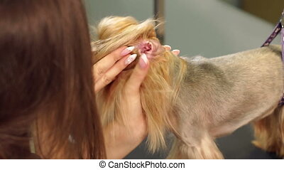 A woman vet cleans the ears with a cotton swab in a Yorkshire terrier.