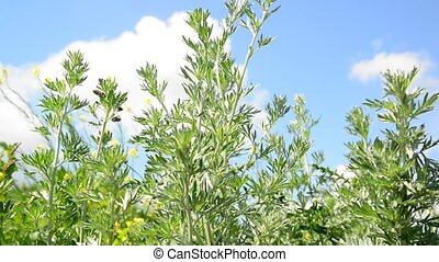 Wormwood tops against the sky