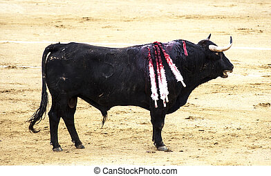 A wounded bull, with peaks in the back. Corrida. A large...