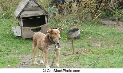 A yard dog of a red color on a chain against the background of an old wooden doghouse in a rural yard