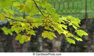 A yellow and green branch of a maple sways in a park in autumn in slo-mo