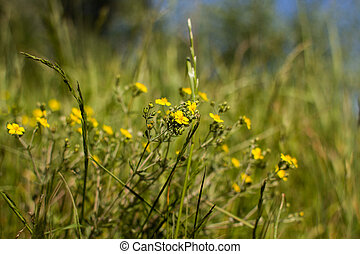 yellow buttercups grow in the grass