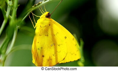 A yellow butterfly hanging on a leaf and caterpillar