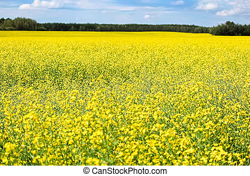 A yellow canola field in full bloom