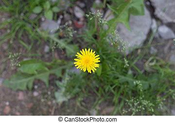 yellow dandelion growing in a green meadow