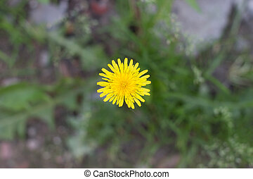 yellow dandelion growing in a green meadow