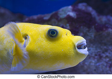 A yellow Dogfaced puffer marine fish