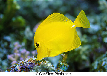 A Yellow Fish shot at the Moody Gardens Aquarium in Galveston, Texas.
