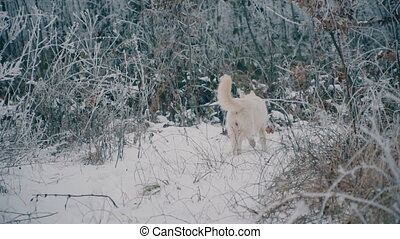 a yellow-haired Husky breed dog - dog of a yellow-haired...