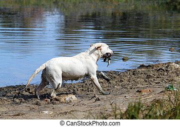 a yellow hunting labrador retrieving