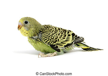 a yellow parakeet breeding isolated on a white background