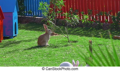 A yellow rabbit sits on a green lawn near a red fence, eating leaves.