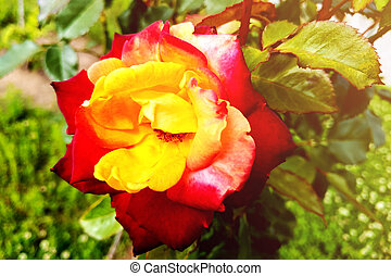 A yellow rose with red tips boldly contrasts in the garden.