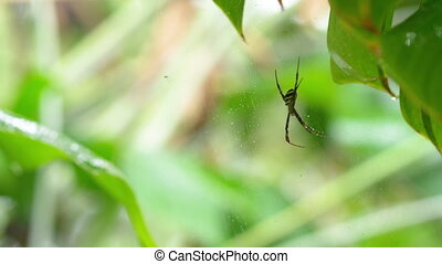 A yellow striped spider on web - A medium shot of a spider...