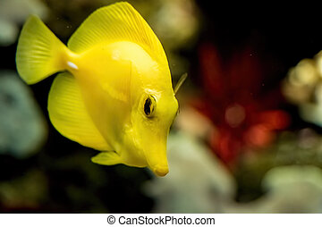 A yellow tropical fish