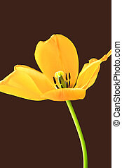 A yellow tulip.