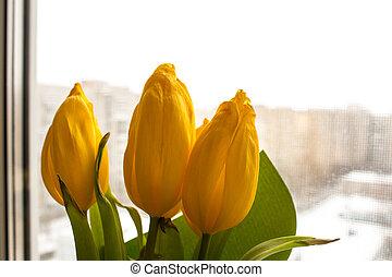yellow tulips on the window background
