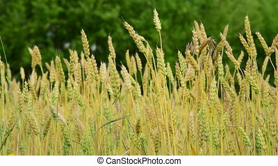 yellow wheat in the field, fragment - A yellow wheat in the...
