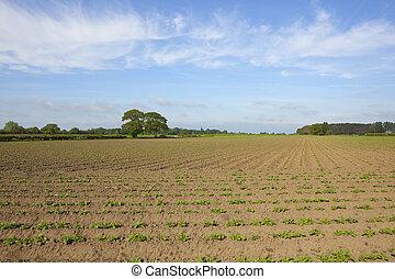 yorkshire potato field