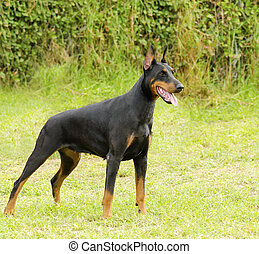 A young, beautiful, black and tan Doberman Pinscher standing on the lawn while sticking its tongue out and looking happy and playful. Dobermann is a breed known for being intelligent, alert, and loyal companion dogs.