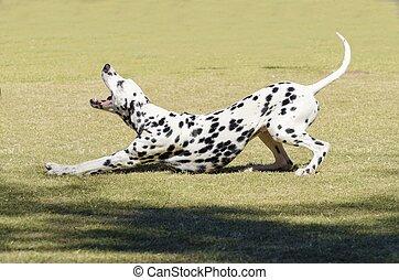 Dalmatian dog - A young beautiful Dalmatian dog stretching...