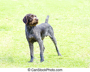 A young, beautiful, liver, black and white ticked German Wirehaired Pointer dog standing on the lawn. The Drahthaar has a distinctive eyebrows, beard and whiskers and straight harsh wiry coat.