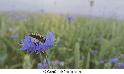 A young bee is pollinating a blue knapweed wildflower in the summer blossoming field without people Close up view slow mo video in 4K on UHD camera