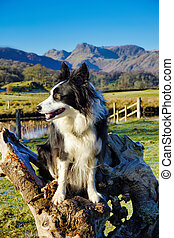 A young Border Collie sitting on a tree stump against a ...