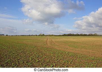 canola field in autumn