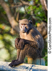 A young Chacma Baboon warms herself in the morning sun