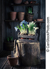 A young colourful hyacinth in the rustic cottage