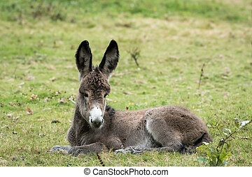 A young donkey lying in a green pasture