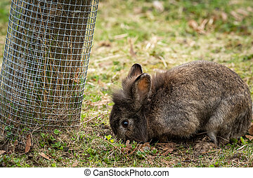 A young dwarf rabbit sitting in the grass