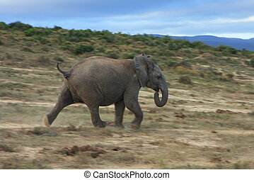 A young elephant charges in Addo