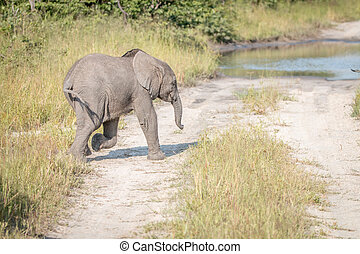 A young Elephant walking on the road.
