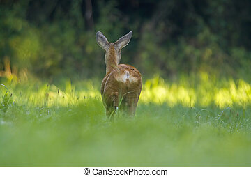 a young female deer on a green meadow