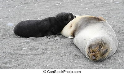 A young fur seal pup with mum - A young fur seal pup resting...