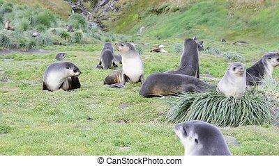 A young fur seals pups